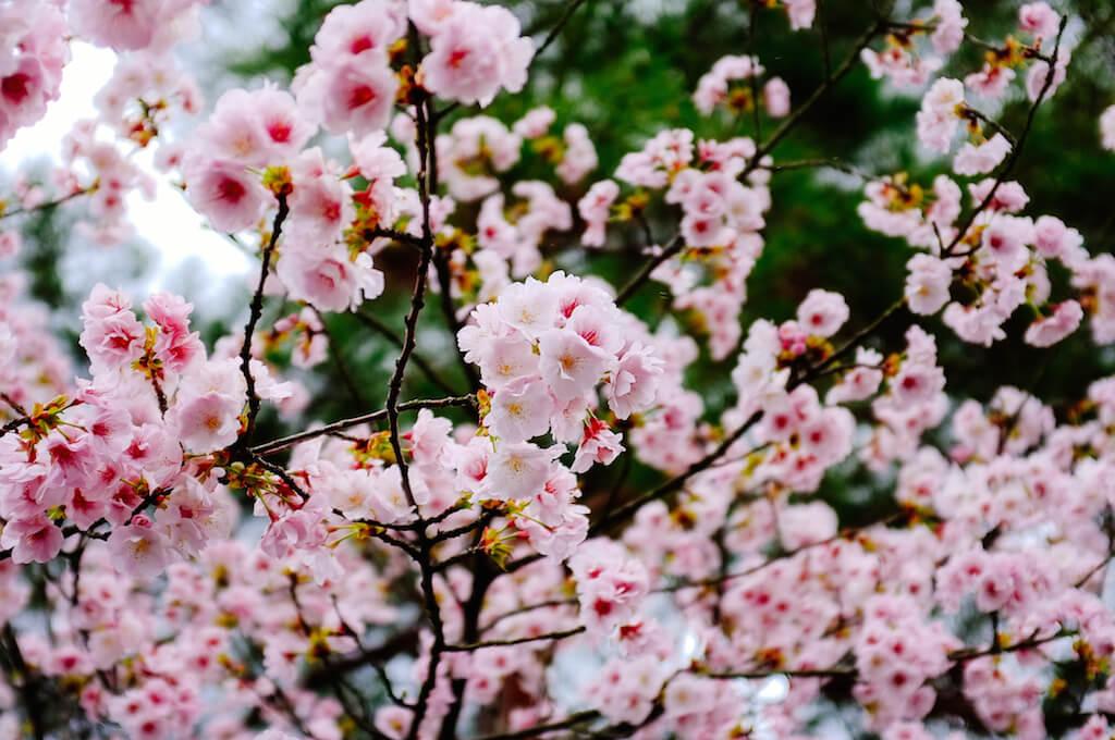 亞倫攝影工作室,日本京都櫻花